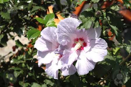 Purple Hibiscus stock photo, Purple Hibiscus with Petals,3543x2356 Pixel, 23,9 MB, 300 dpi by Ute Wingenfeld