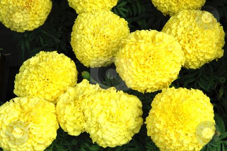 Yellow Flower Balls stock photo, Big round bright yellow Dahlias Balls, 3008x2000 Pixel, 17,2 MB, 300 dpi by Ute Wingenfeld