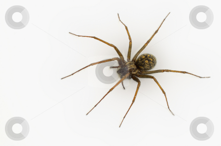 Common House Spider stock photo, A common house spider (Tegenaria gigantea) isolated on white. by Alistair Scott