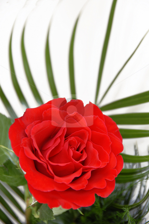 Red rose stock photo, Bright red single rose over white background by Julija Sapic