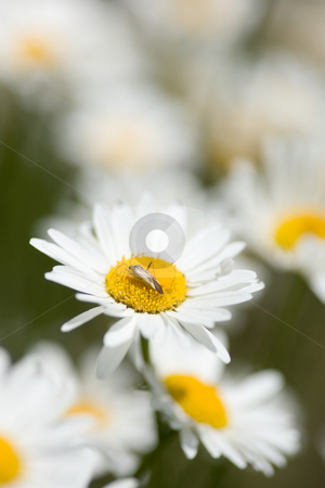 Bug on Daisy stock photo, A group of white daisies with a small depth of focus on the center flower that a bug has landed on. by Kevin Woodrow