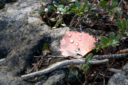 Single red leaf after the rain stock photo, A single red leaf with water droplets, situated on rock. by Kevin Woodrow