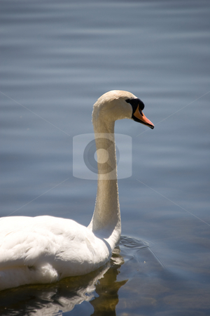 Lonely Swan stock photo, A lone white swan in the foreground with a tranquil water background. by Kevin Woodrow