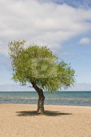Single Tree on a beach stock photo, A single tree in the middle of the image casting a shadow on the sand below, with a blue sky and clouds in the background. by Kevin Woodrow