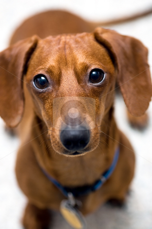 Look of worry stock photo, Closeup of miniature Dachshund looking into the camera with the look of worry on his face, isolated on white. by Kevin Woodrow