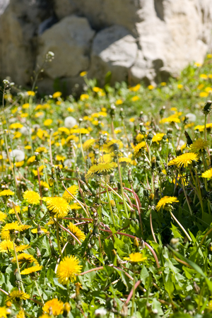 Weed control stock photo, Out of control patch of Dandelions. by Kevin Woodrow
