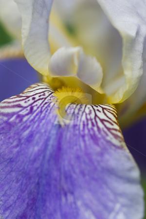 Bearded Iris stock photo, Closeup of a Bearded Iris. by Kevin Woodrow