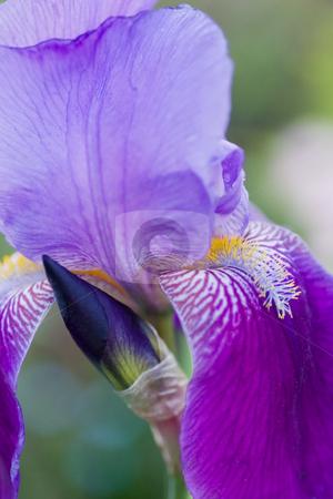 Iris up close stock photo, Closeup Macro shot of a purple blue iris. by Kevin Woodrow