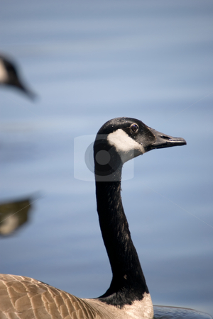 Canada Goose Portrait stock photo, A closeup of a Canada Goose, with a blue water background. by Kevin Woodrow