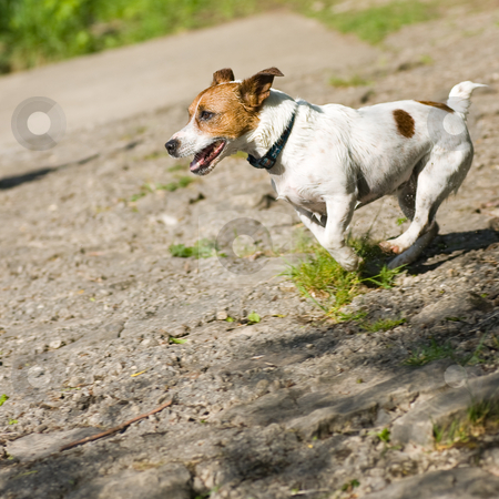 Jack Russel Terrier running full speed stock photo, A small Jack Russel Terrier running along, at full speed. by Kevin Woodrow