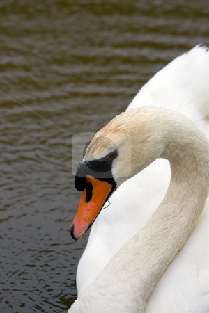 Swan Closeup stock photo, A closeup of the head and neck of a swan. by Kevin Woodrow