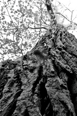 Up your tree stock photo, Picture taken looking up a tree trunk towards the sky, with the texture of the bark prominent, in Black and White. by Kevin Woodrow