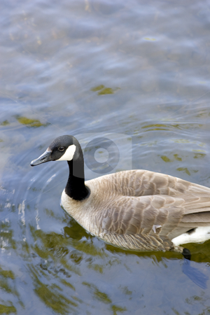 Canada goose in water stock photo, A Canada goose surrounded by water. by Kevin Woodrow