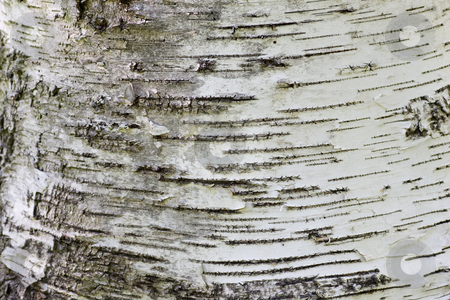 White bark closeup stock photo, White bark closeup at the base of a poplar tree trunk. by Kevin Woodrow