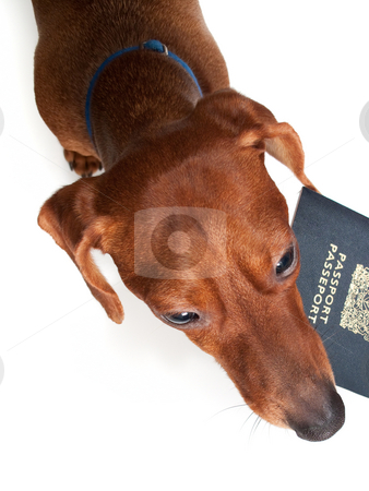 Pet Vacation stock photo, Looking down at a miniature Dachshund, holding a passport in his mouth, isolated on white. by Kevin Woodrow