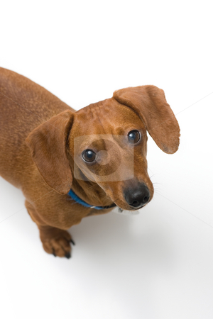 Miniature Dachshund on white series stock photo, A miniature Dachshund Purebred dog, isolated on white background, looking up at the camera. by Kevin Woodrow