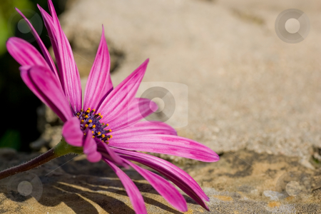 Sunscape Daisy resting on rock stock photo, A purple sunscape daisy focussed in the left of the frame, with rock texture background. by Kevin Woodrow