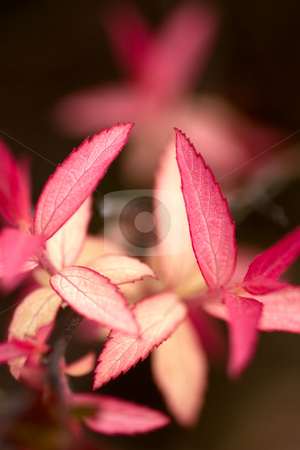 Red Leaves stock photo, Focus on red leaves in the foreground, with a blurred background. by Kevin Woodrow