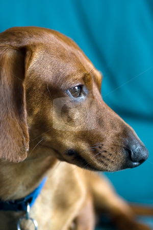 Miniature Dachshund Portrait stock photo, Miniature Dachshund Portrait, collar visible, with a greenish-blue background by Kevin Woodrow