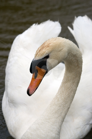 Swan Close-up stock photo, A Closeup of a white swan. by Kevin Woodrow