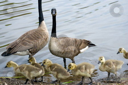 Family of Canada Geese stock photo, Gosslings in the foreground, with their parents behind, and a background of rippling water. by Kevin Woodrow