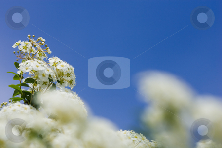 Crabapple blooms stock photo, White crab apple blooms against a clear blue sky, with selective focus. by Kevin Woodrow