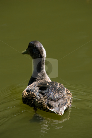 Duck on the move stock photo, A closeup of a duck swimming away. by Kevin Woodrow