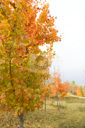 Fall Colors - Vertical stock photo, Fall colors in a park with trees at various distances. by Kevin Woodrow