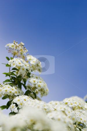 Crabapple Blooms stock photo, White crabapple blooms against a clear blue sky, with selective focus. by Kevin Woodrow