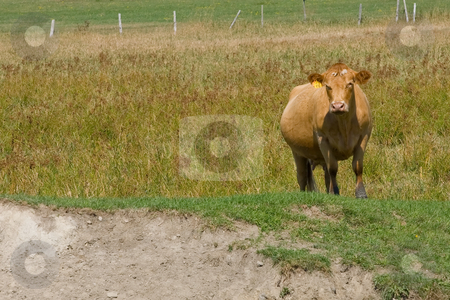 Lonely Cow stock photo, A lone cow looking towards the camera, with a fence in the distance. by Kevin Woodrow