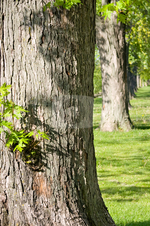 Tree Lineup stock photo, Lineup of mature tree trunks. by Kevin Woodrow