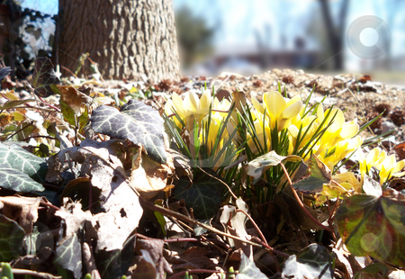 Springtime stock photo, Yellow crocus with a tree in the background by Sandra Fann
