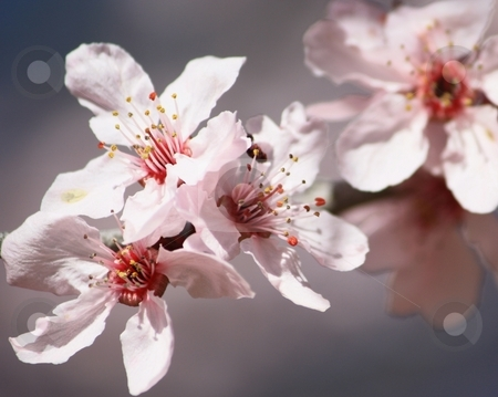 Cherry tree blossom stock photo, Chinese cherry tree blossoms by Gregory Dean