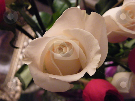 Delicate White Rose (macro) stock photo, Delicate White Rose (natural light - no flash) Macro by Dazz Lee Photography