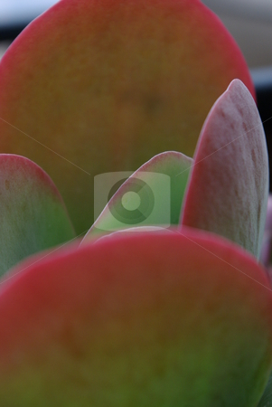 Paddle Plant close-up stock photo, Paddle Plant (Kalanchoe thyrsiflora) is a popular garden and container succulent that grows well indoors as well as out.  It can grow up to three foot in size and like the accompanying image becomes pink on the leaf edges when it gets plenty of light.. by Dennis Thomsen
