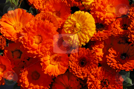 Pot Marigolds - Calendula officinalis stock photo, Orange and yellow pot marigolds or English marigolds in sunlight - calendula officinalis. by Denis Radovanovic