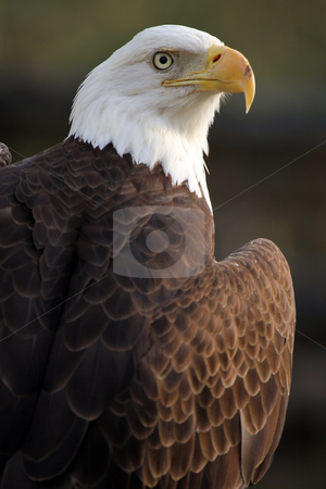 Bald Eagle stock photo, Closeup of a Bald Eagle against a blurred background. by Megan Lorenz
