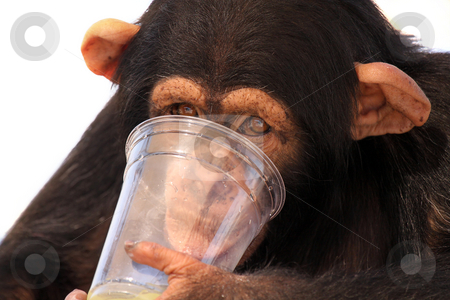 Thirsty Chimp stock photo, Young Chimpanzee drinking from a plastic cup and isolated on white background. by Megan Lorenz