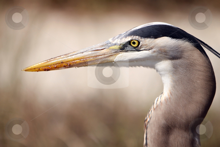 The Watcher stock photo, Closeup of a Great Blue Heron against a blurred background. by Megan Lorenz
