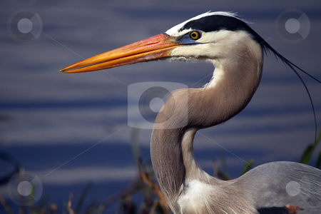 Blue Beauty stock photo, Closeup of a Great Blue Heron against a blurred background. by Megan Lorenz