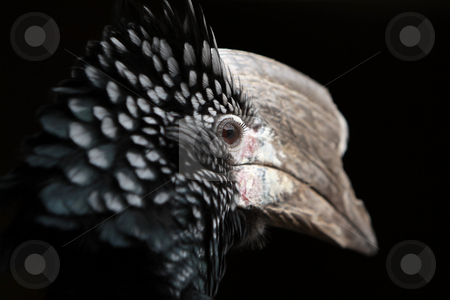 Creature stock photo, Closeup of a Silver Cheeked Hornbill against a black background. by Megan Lorenz
