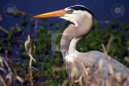 Great Blue stock photo, Closeup of a Great Blue Heron against a blurred background. by Megan Lorenz