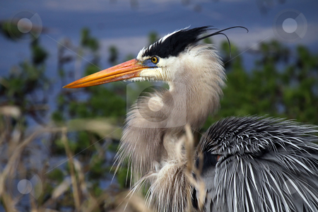Great Blue Heron stock photo, Closeup of a Great Blue Heron against a blurred background. by Megan Lorenz