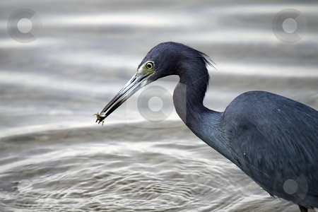 The Fisherman stock photo, Closeup of a Little Blue Heron catching a shrimp. by Megan Lorenz