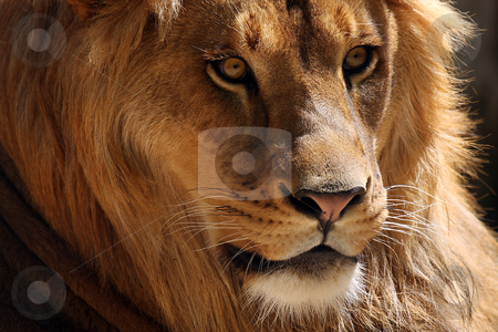 The King stock photo, Side profile of a male Lion. by Megan Lorenz