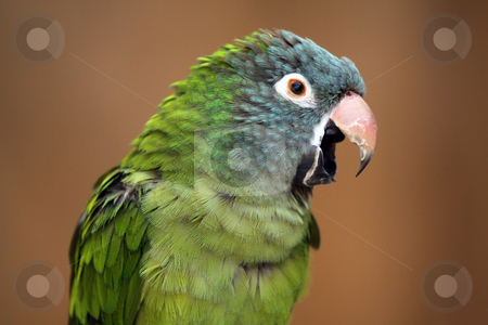 Singing Parrot stock photo, Singing Parrot against a blurred background. by Megan Lorenz