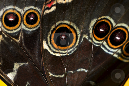Butterfly wing stock photo, Closeup of a Beautiful blue morpho butterly wing by Elena Elisseeva