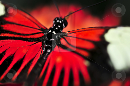 Red heliconius dora butterfly stock photo, Red heliconius dora butterfly with open wings by Elena Elisseeva