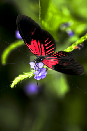 Red heliconius dora butterfly stock photo, Red heliconius dora butterfly on a flower by Elena Elisseeva