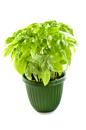 Green basil in a pot stock photo, Fresh green basil in a pot isolated on white background by Elena Elisseeva